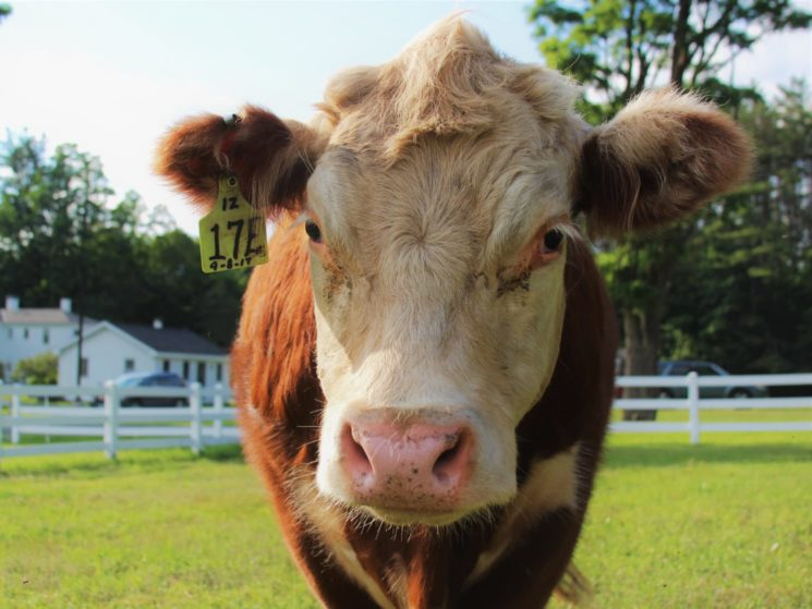 Zeke the cow up close